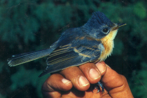 Chuguanguang (Guam Flycatcher)